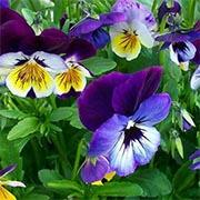 Violetta tricolore